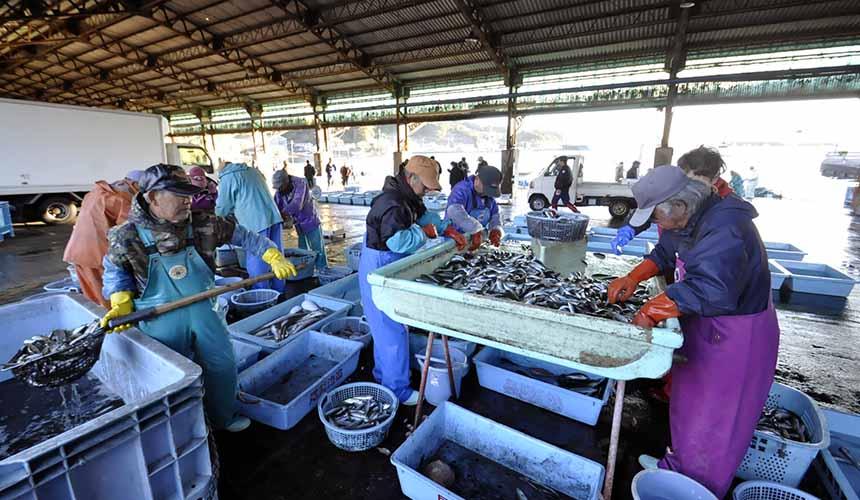 尾鷲漁港早市內大家正在處理漁獲的景色