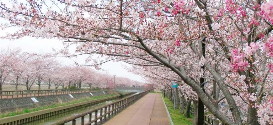 日本中部櫻花推薦愛知櫻花項鍊