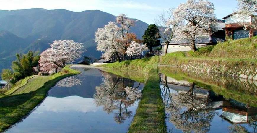 日本中部樱花推荐三重三多气之樱