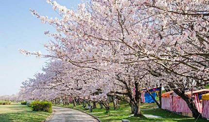 日本中部樱花推荐三重宫川堤