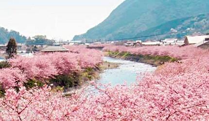 河津櫻是日本最早開花的櫻花品種