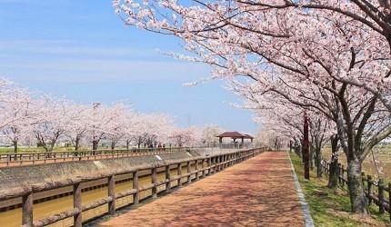 日本中部樱花推荐爱知樱花项链