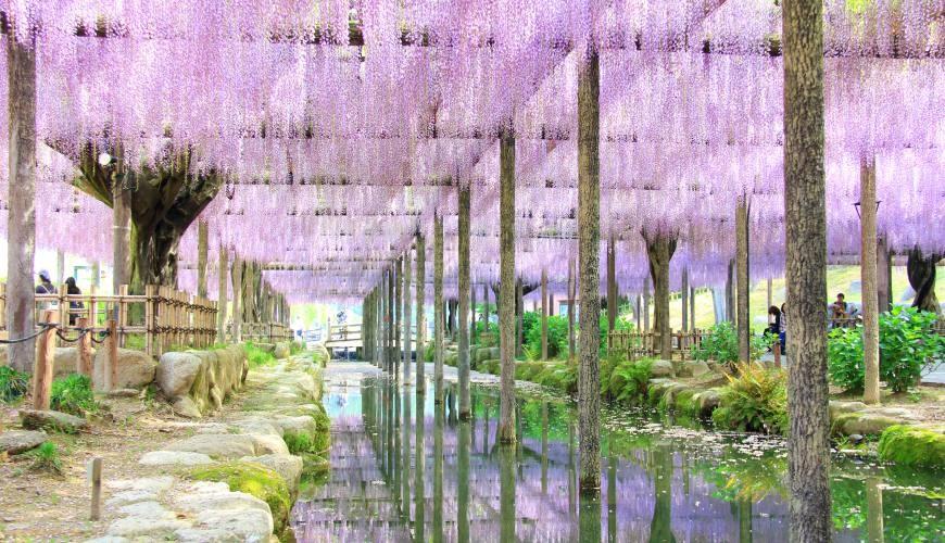 爱知县春夏必去景点:第一名的紫藤花海「津岛市天王川公园」,名古屋出发不用半小时