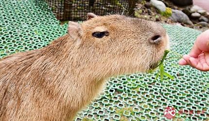 静冈景点亲子游推荐富士野生动物园里的水豚