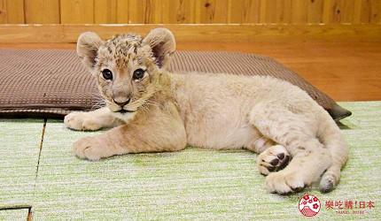 静冈景点亲子游推荐富士野生动物园期间限定活动喂小狮子