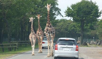 静冈景点亲子游推荐富士野生动物园驾车游野生动物区(マイカーでサファリ见学)