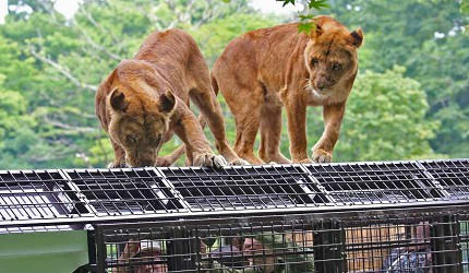 静冈景点亲子游推荐富士野生动物园超级丛林巴士