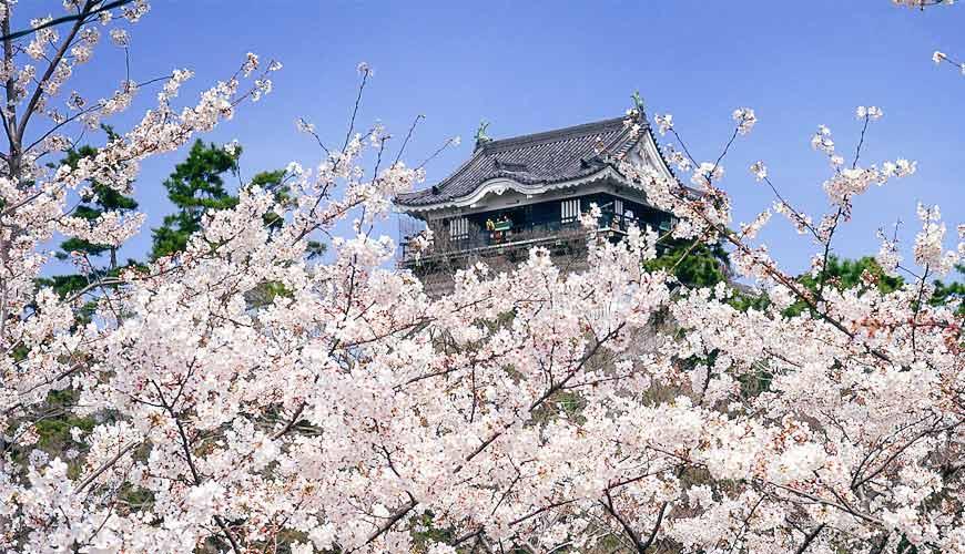 名古屋30分钟就到爱知自由行必去推荐推介冈崎观光景点冈崎城樱花同框